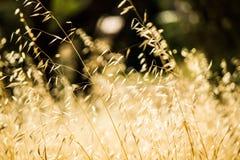 Erba selvatica che è soffiata nel vento Fotografie Stock Libere da Diritti