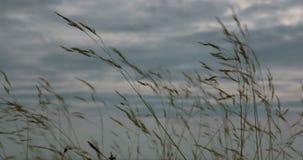 Erba selvatica che si muove velocemente nel vento, nel rosa e nei precedenti del cielo blu stock footage