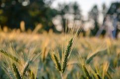 Erba selvatica con le spighette che oscillano uniformemente in vento, piante di estate Erba verde con le orecchie dorate e lanugi fotografia stock libera da diritti