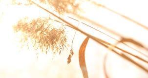 Erba selvatica con le spighette che oscillano uniformemente in vento, piante di estate fotografie stock libere da diritti