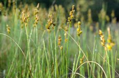Erba selvatica gialla di fioritura sul bordo della foresta in primavera immagini stock