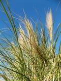 Erba selvatica nel vento sul cielo blu di mattina Fotografia Stock Libera da Diritti