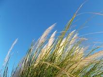Erba selvatica nel vento sul cielo blu di mattina Fotografie Stock Libere da Diritti