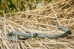 Erba-serpente in un lago Immagini Stock