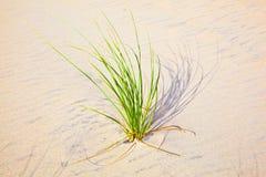 Erba soffiata vento sulla duna di sabbia Immagini Stock Libere da Diritti