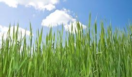 Erba sul campo sotto il cielo blu di girata Immagini Stock Libere da Diritti