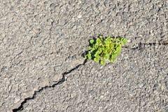 Erba sulla frattura di asfalto. Fotografia Stock
