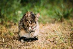 Erba sveglia di Tabby Gray Cat Kitten Pussycat Play In all'aperto ad estate Fotografie Stock Libere da Diritti