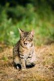 Erba sveglia di Tabby Gray Cat Kitten Pussycat Play In all'aperto ad estate Immagini Stock Libere da Diritti