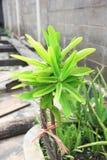 Erba tailandese: Aloe Vera Tree che è uno dell'albero che può aiutare per le ferite di guarigione fotografie stock