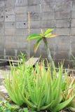 Erba tailandese: Aloe Vera Tree che è uno dell'albero che può aiutare per le ferite di guarigione fotografie stock libere da diritti