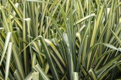 Erba variegata del carice Immagine Stock
