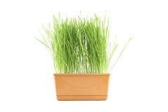 Erba verde. Fotografia Stock Libera da Diritti