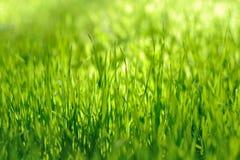 Erba verde Fotografie Stock