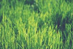 Erba verde Immagine Stock