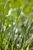 Erba verde alla luce solare Fotografia Stock Libera da Diritti