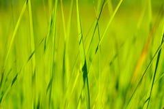 Erba verde alla luce solare di estate del sole sugli ambiti di provenienza della sfuocatura Immagini Stock