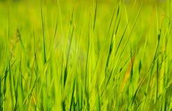 Erba verde alla luce solare di estate del sole sugli ambiti di provenienza della sfuocatura Fotografia Stock Libera da Diritti