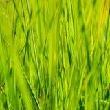 Erba verde alla luce solare di estate del sole sugli ambiti di provenienza della sfuocatura Fotografie Stock Libere da Diritti