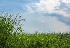 Erba verde, alta, fertile in un campo su un fondo di cielo blu Immagini Stock