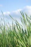 Erba verde alta variopinta di estate con lo spazio della copia Immagine Stock Libera da Diritti
