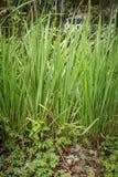 Erba verde in ambientale Fotografia Stock