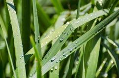 Erba verde bagnata Fotografie Stock Libere da Diritti