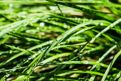 Erba verde bagnata Fotografia Stock