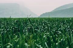Erba verde bagnata al giorno piovoso nebbioso Montagne vaghe nel fondo immagine stock
