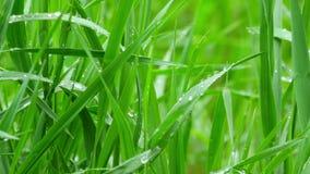 Erba verde bagnata dopo pioggia archivi video