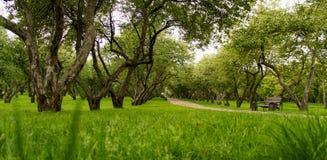 Erba verde, cespugli della mela degli alberi Fotografie Stock