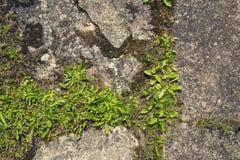Erba verde che cresce attraverso il calcestruzzo con lo spazio della copia Fotografia Stock