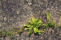 Erba verde che cresce attraverso il calcestruzzo con lo spazio della copia Immagine Stock