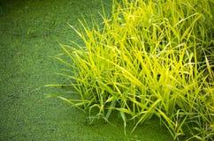 Erba verde che ingiallisce in una palude Fotografia Stock Libera da Diritti