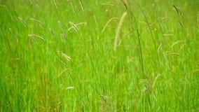 Erba verde che ondeggia nel vento archivi video