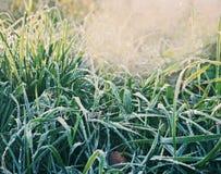 Erba verde con hoarfrost Fotografia Stock