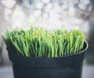 Erba verde con i cali di rugiada in vaso Immagini Stock
