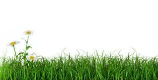 Erba verde con i fiori della margherita Fotografie Stock