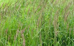Erba verde con i grani Immagini Stock Libere da Diritti