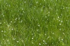 Erba verde con i petali caduti Immagini Stock