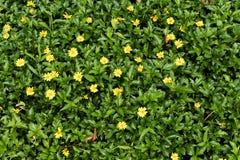 Erba verde con i piccoli fiori gialli in vista da sopra immagini stock libere da diritti