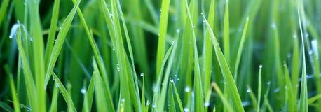 Erba verde con la rugiada di mattina fotografia stock