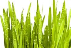 Erba verde con le gocce dell'acqua Fotografia Stock