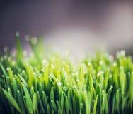 Erba verde con le gocce di acqua della rugiada, fondo all'aperto della natura Fotografie Stock Libere da Diritti
