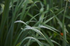 Erba verde con le gocce di acqua dopo un rainshower Fotografia Stock