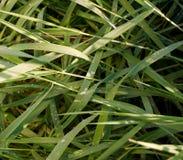 Erba verde con le gocce di pioggia Immagini Stock