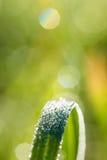 Erba verde con le gocce di rugiada o le gocce di pioggia di luccichio Immagini Stock