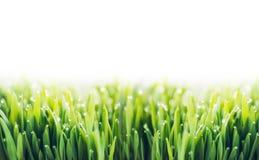 Erba verde con le gocce di rugiada su fondo bianco Immagine Stock