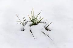 Erba verde con neve Fotografia Stock