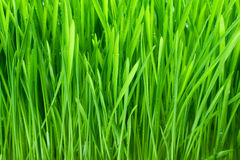 Erba verde con rugiada Fotografie Stock